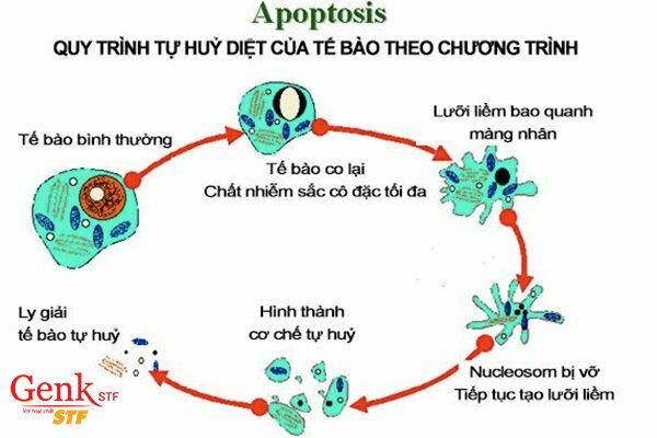 Fucoidan kích hoạt các enzyme liên quan đến việc lập trình chu kỳ tự chết của tế bào.