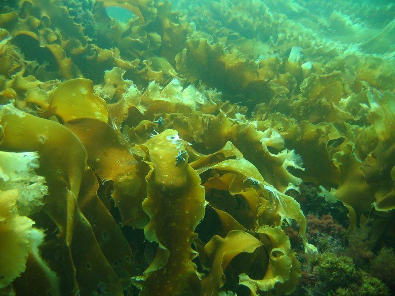 Fucoidan là gì? Là hoạt chất được chiết xuất từ tảo nâu giúp hỗ trợ và điều trị ung thư