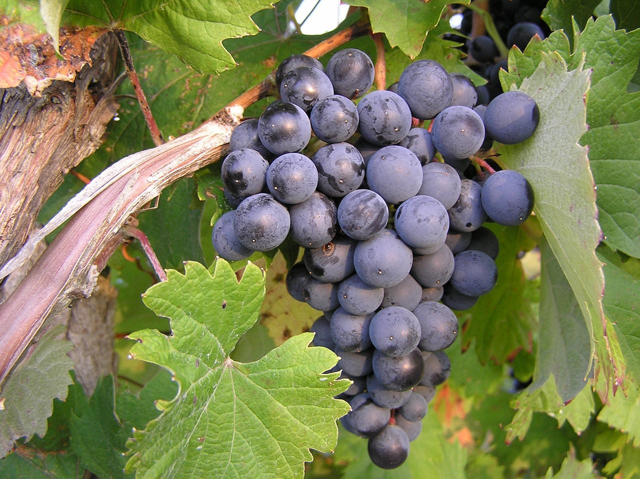 Nho được biết đến là một trong những loại trái cây tốt nhất chống ung thư