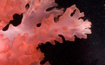 Một số những thông tin cơ bản về tảo Fucoidan đỏ bạn nên biết